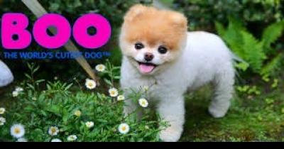 WORLD CUTESS  DOG_-POMERANIAN